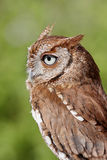 Eastern Screech-Owl (Megascops asio) Stock Photography