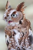 Eastern Screech-Owl (Megascops asio) Stock Images