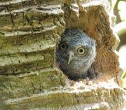 Eastern Screech-Owl or Megascops asio. Eastern Screech-Owl juvenile in its nest Stock Image