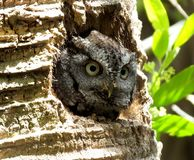 Eastern Screech-Owl or Megascops asio. Eastern Screech-Owl looking out from its nest hole Royalty Free Stock Images