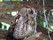 Eastern Screech-Owl (Megascops asio). Eastern Screech-Owl perched in a palm tree Stock Photos