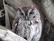 Eastern Screech-Owl Megascops asio. Eastern Screech-Owl perched in a palm tree Royalty Free Stock Photo