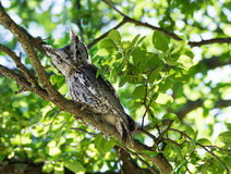 Eastern Screech Owl. (Megascops asio) perched on tree branch Royalty Free Stock Image