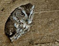 Eastern Screech Owl Megascops asio. An Eastern Screech Owl Megascops asio pokes out through a hole Stock Photos