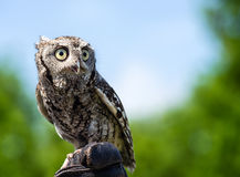 Eastern Screech Owl (Megascops asio) Stock Images