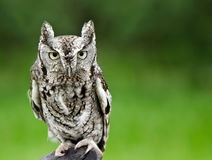 Eastern Screech Owl (Megascops asio). Portrait of Eastern Screech Owl (Megascops asio), against smooth green background, copy space Stock Photography