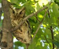 Eastern Screech Owl. An eastern screech owl (Megascops asio) sitting on a tree at daytime Stock Image