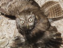 Eastern Screech-Owl or Megascops asio. Eastern Screech-Owl sunbathing on the ground with its wings spread Royalty Free Stock Photography