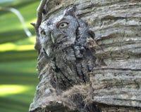 Eastern Screech-Owl or Megascops asio. Eastern Screech-Owl took over a Woodpecker's nest in a palm tree Stock Image