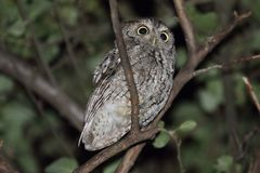 Eastern Screech-Owl (Megascops asio). In a tree at night Royalty Free Stock Photos