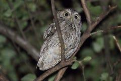 Eastern Screech-Owl (Megascops asio) Royalty Free Stock Photos