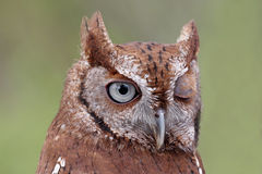 Eastern Screech-Owl (Megascops asio) Winking Stock Images