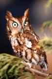 Eastern Screech Owl On A Tree Branch Stock Image