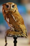 Eastern Screech Owl (Otus asio) Stock Photography