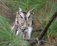 Eastern Screech Owl. An Eastern Screech Owl (Otus asio) in a pine tree Royalty Free Stock Images