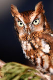 Eastern Screech Owl Perched. Eastern Screech owl during it's Red Phase. These small owls are found throughout the eastern United States and Canada Royalty Free Stock Photo