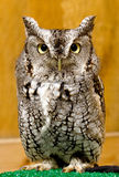 Eastern Screech Owl. An Eastern Screech Owl perched Royalty Free Stock Photos