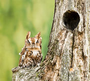 Eastern Screech Owl. Perched on a dead tree stump. Eastern Screech-Owls are found wherever trees are, and they're even willing to nest in backyard nest boxes Royalty Free Stock Photography