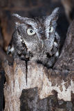 Eastern Screech Owl. An Eastern Screech Owl perched in a rotten tree Royalty Free Stock Image