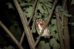 Eastern screech owl Stock Image