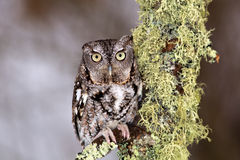Eastern Screech Owl Stock Photography