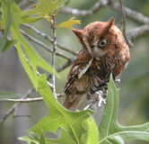 Eastern Screech Owl. Screech owl photo captured on the Nature Coast of Florida Royalty Free Stock Photo