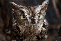 Eastern Screech Owl Portrait. A portrait of an Eastern Screech Owl Royalty Free Stock Images
