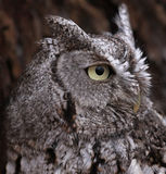 Eastern Screech Owl Profile. A side profile shot of an Eastern Screech Owl (Megascops asio Royalty Free Stock Photography