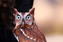 Eastern Screech Owl with Quizzical Look Stock Photos