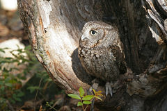 Eastern Screech Owl Raptor Stock Images