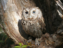 Eastern Screech Owl Raptor Royalty Free Stock Photography