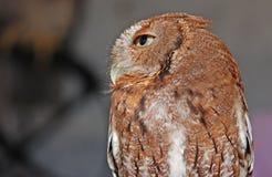 Eastern Screech Owl Red Stock Photo