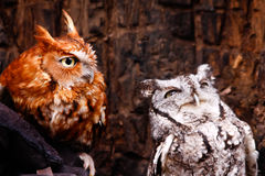 Eastern Screech Owl Red and Gray Phases Royalty Free Stock Photo