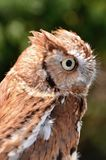 Eastern Screech Owl. The red morph of an eastern screech owl, Megascops asio Royalty Free Stock Photography