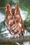 Portrait of an eastern screech owl. Eastern screech owl red morph perched on a branch Stock Images