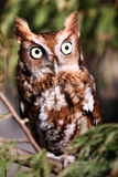 Eastern Screech Owl - Red Phase. Eastern Screech owl during it's Red Phase. These small owls are found throughout the eastern United States and Canada Stock Photography
