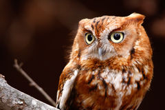 Eastern Screech Owl Red Phase Perching. A close up view of an Eastern Screeh Owl perched on a branch during it's Red Phase. These small owls are found throughout Royalty Free Stock Photo