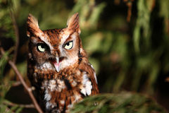 Eastern Screech Owl Screeching! Royalty Free Stock Image