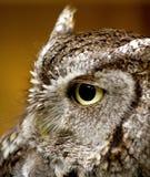 Eastern Screech Owl Royalty Free Stock Photo