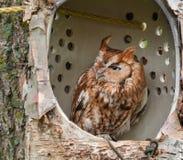 Eastern Screech Owl in Simulated Tree Cavity Pe. Eastern Screech Owl (Megascops asio) in Simulated Tree Cavity Perch Stock Photography