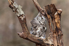 Eastern Screech Owl Stock Images