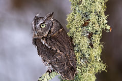 Eastern Screech Owl Royalty Free Stock Photography