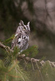 Eastern Screech Owl Royalty Free Stock Images