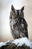 Eastern Screech Owl & Snow. Closeup of a Screech Owl against a blurred background Royalty Free Stock Photo