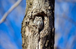 Eastern Screech Owl. Stock Images