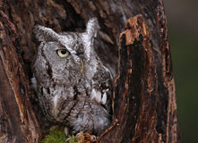 Eastern Screech Owl in Stump. A close-up of an Eastern Screech Owl (Megascops asio) sitting in a stump Royalty Free Stock Photography