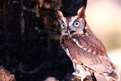 Eastern Screech Owl Talking Stock Photos