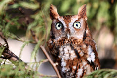 Eastern Screech Owl in tree. Eastern Screech owl during it's Red Phase perched in a tree. These small owls are found throughout the eastern United States and Royalty Free Stock Image