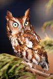 Eastern Screech Owl on a tree branch. Eastern Screech owl during it's Red Phase. These small owls are found throughout the eastern United States and Canada Stock Image