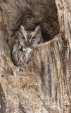 Eastern Screech Owl in a tree. In winter Royalty Free Stock Photography